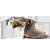 Bats-Removal