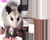 Opossum-Removal